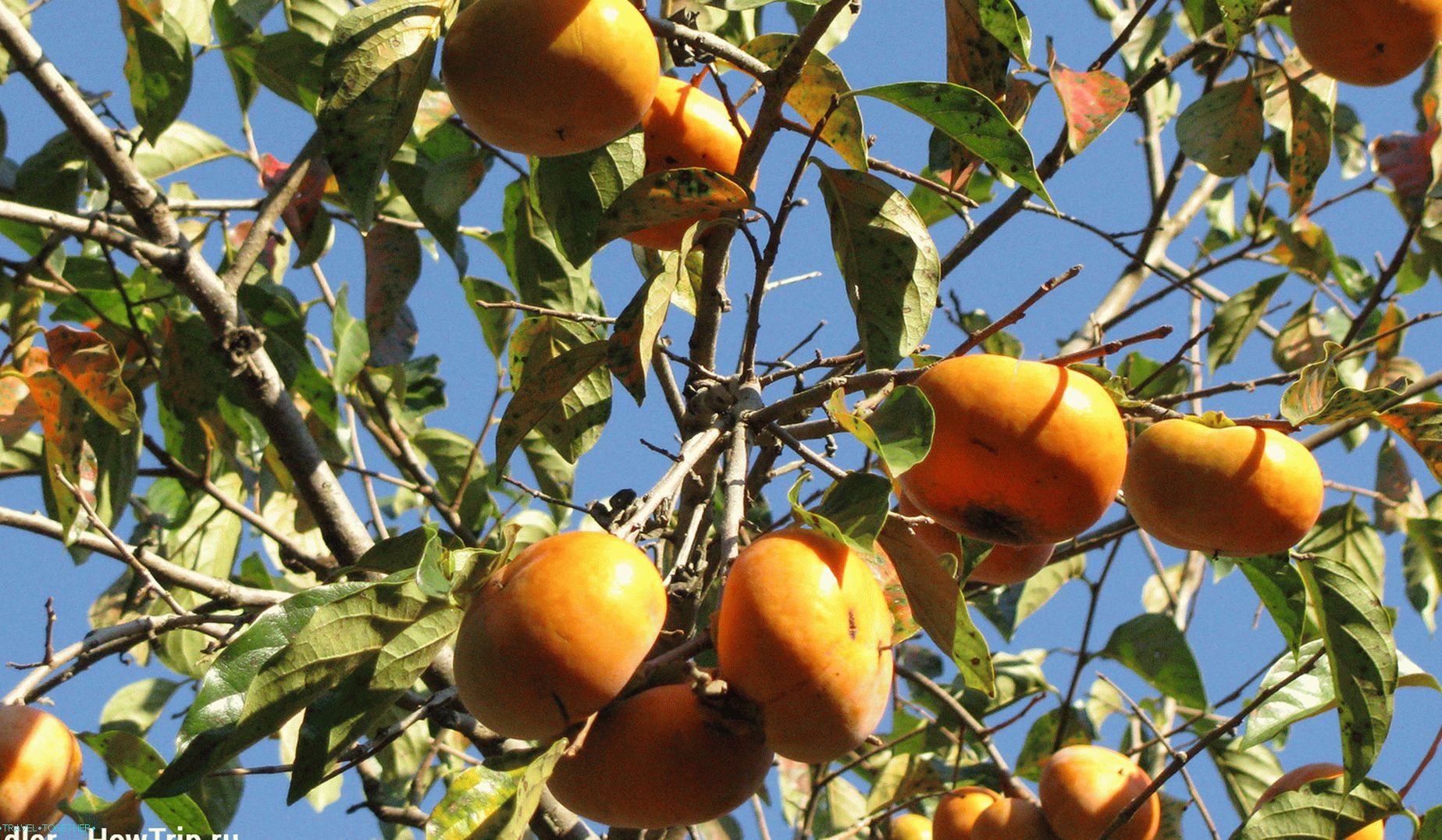 Persimmon on a tree in Abkhazia