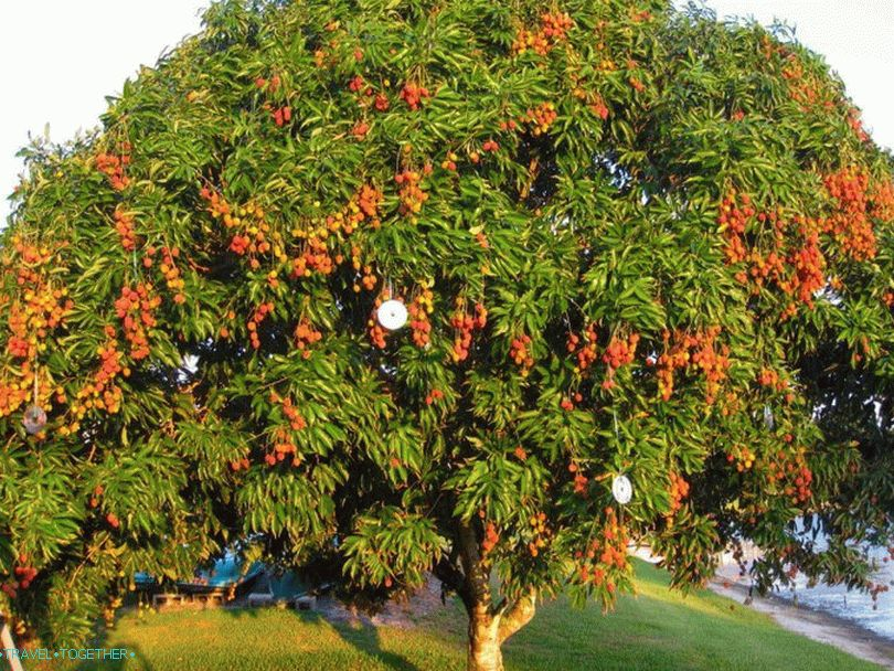 Lychee tree in Thailand