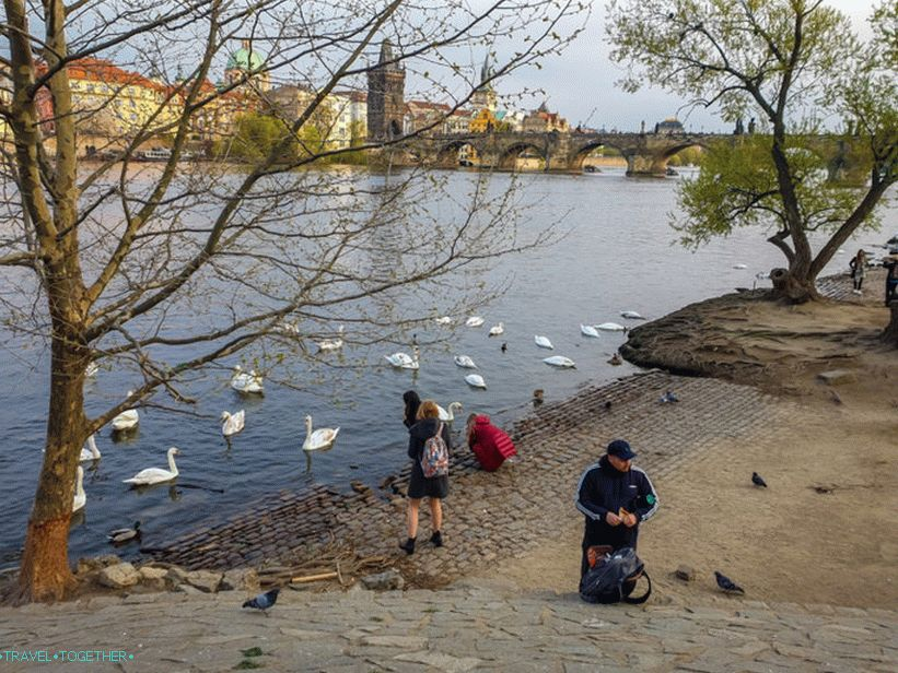 Swans in Prague and where to feed them