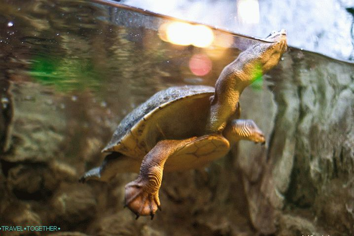 Long-necked turtle in his wondrous dance