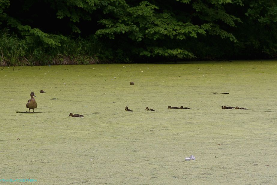 Ducks swim with difficulty over a marshy pond